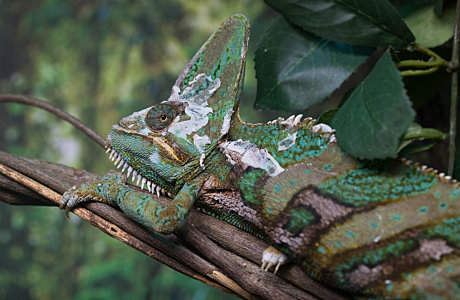 4.-Veiled-Chameleon-Hartley-s-Crocodile-Adventures.jpg